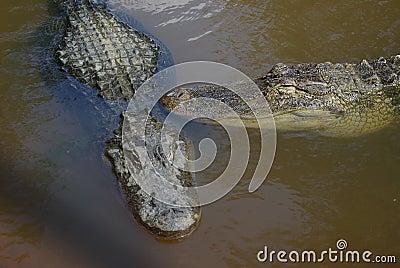 Amerikanische Krokodile