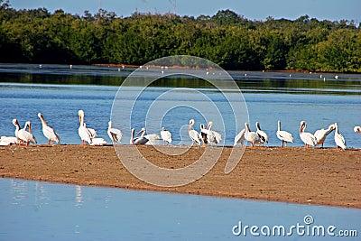 Amerikanische weiße Pelikane