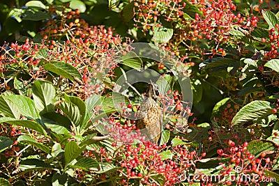 Amerykański rudzik