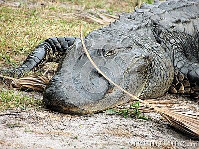 Amerykanin Florydzie aligatora