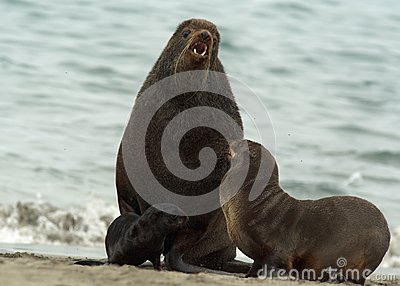 Amicable family of fur seals