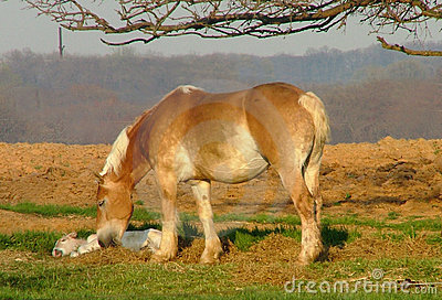Amish Belgian with foal