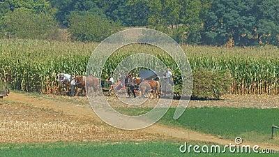Amish Family Farm Gromadzi to Corn Crop zbiory