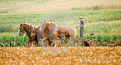 Amish Farmer and Plow Horses Editorial Stock Image