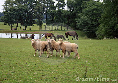 Amish Sheep And Horses