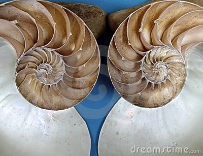Ammonite Fossil Halves