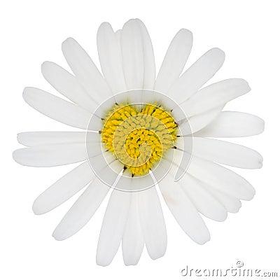 Amor dado forma coração da flor do marguerite