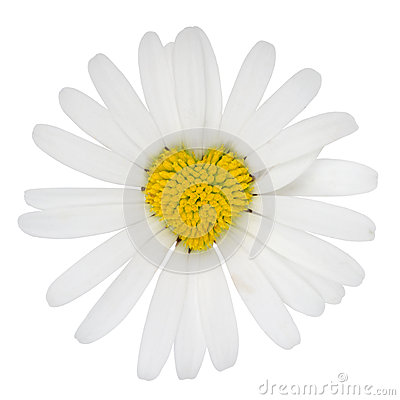 Amore a forma di del fiore della pratolina del cuore