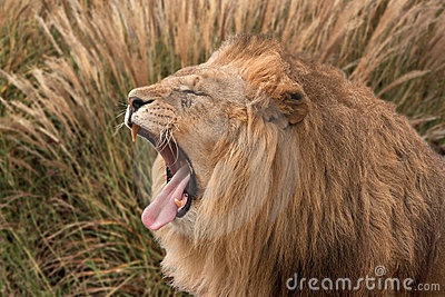 & Leeuw die verbergt brult