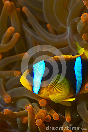 Amphiprion Bicinctus - Nemo - Clown Fish Stock Photography - Image: 25342762