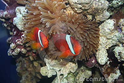 Amphiprion frenatus,