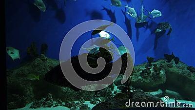 Ampuły ryba z karbami żebra wśród małej ryba w akwarium zbiory