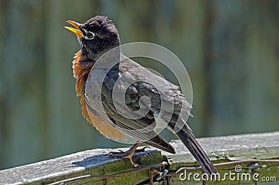 Américain Robin