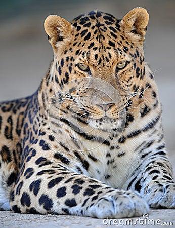 Free Amur Leopard 1 Stock Photo - 12197580