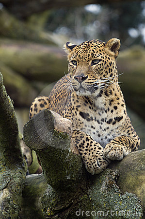 Free Amur Leopard Royalty Free Stock Images - 1955749