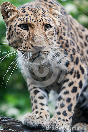 The Amur Leopard