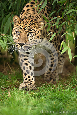 Free Amur Leopard Royalty Free Stock Photography - 28019407