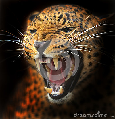 Free Amur Leopard Royalty Free Stock Photography - 33743937