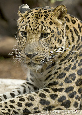 Free Amur Leopard Stock Photo - 758920
