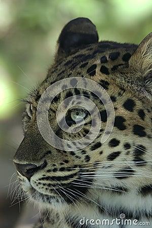 Amur Leopard _MG_3594