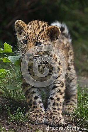 Free Amur Leopard Panthera Pardus Orientalis Royalty Free Stock Photography - 105223117