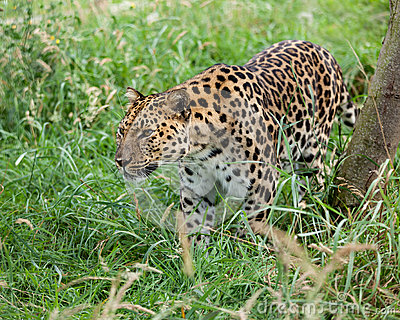 Amur Leopard Prowling through Long Grass