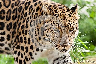 Amur Leopard Stalking Forwards