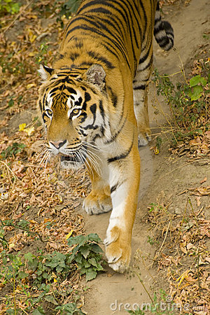 Amur-Tiger