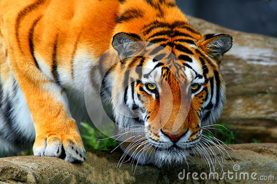 Amur tiger crouched down to take a drink