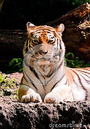 Amur tiger front