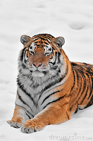 Amur Tiger Lies in Snow