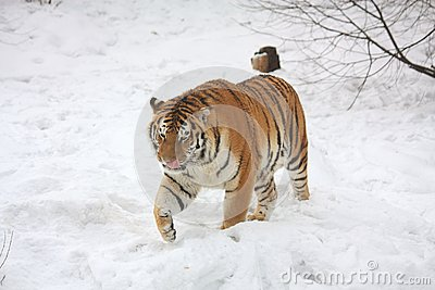 Amur tiger walking in snow
