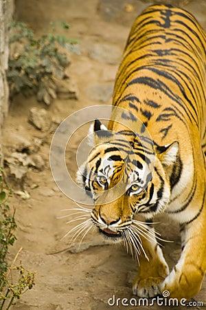 Amur tygrys