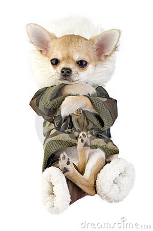 Amusing Chihuahua puppy dressed in khaki jumpsuit