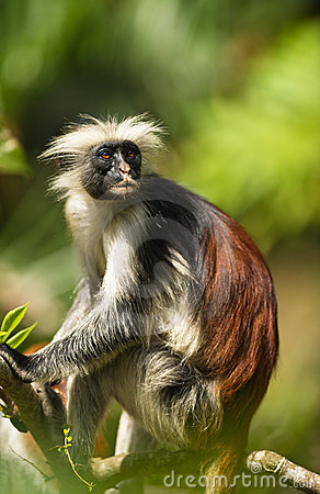 Free An Adult Male Of The Zanzibar Red Colobus Stock Photo - 17185930