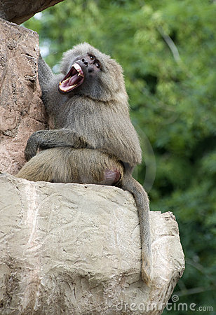 Free An Angry Baboon Royalty Free Stock Images - 15175229