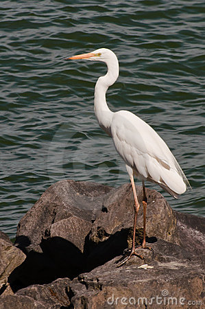 Free An Egret On The Water Edge Stock Images - 16107084