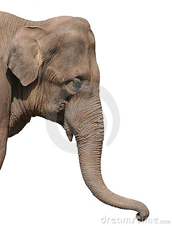 Free An Elephant Head Isolated Stock Photography - 141212