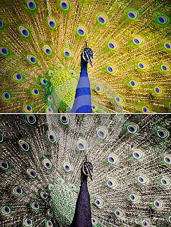 Free An Indian Peafowl Is Spreading It S Tail-feathers To The Female Stock Photos - 53293513
