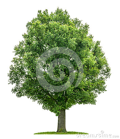 Free An Isolated Oak Tree Royalty Free Stock Image - 32427666
