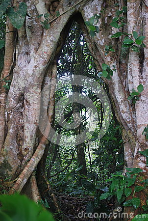 Free An Old Tree Whose Roots Are Split Into Two In A Rainy Forest In Costa Rica Stock Images - 69000094