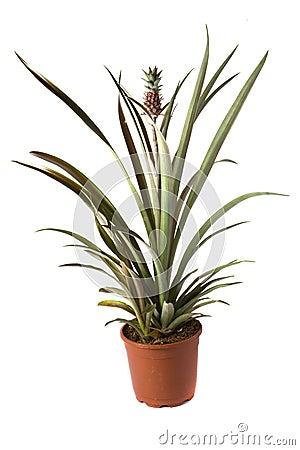 Free Ananas Xanda Royalty Free Stock Images - 3615819