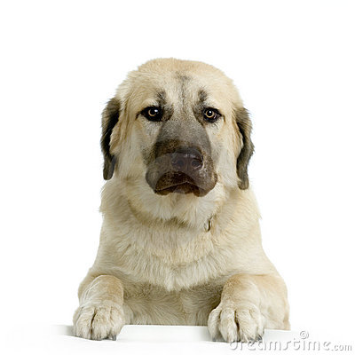 Free Anatolian Shepherd Dog Royalty Free Stock Photo - 2273425