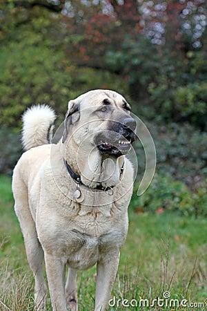 Free Anatolian Shepherd Dog Stock Photography - 6998442