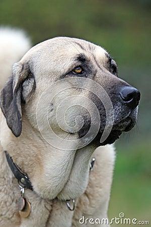 Free Anatolian Shepherd Dog Stock Photography - 6998462
