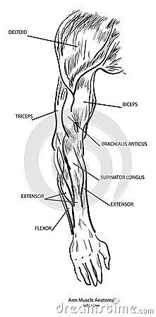 Anatomía del músculo del brazo