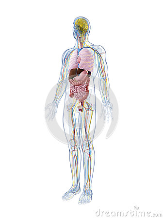 Anatomía masculina