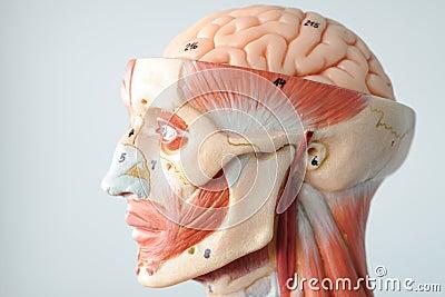 Anatomía del ser humano de la cara