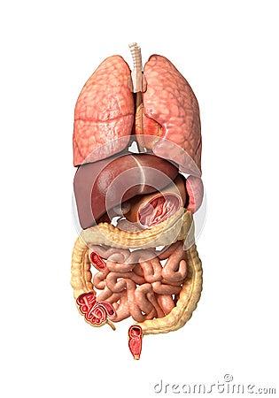 Anatomia maschio umana, organi interni da solo, respiratorio pieno e
