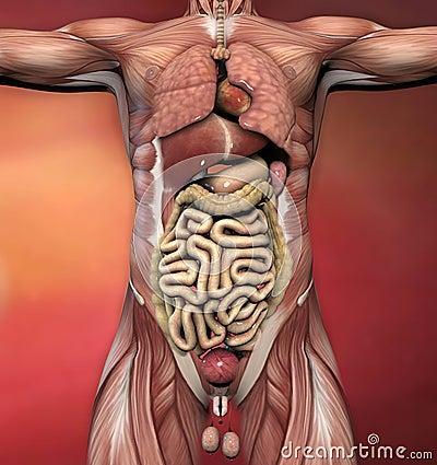 Anatomia corpo humano masculino